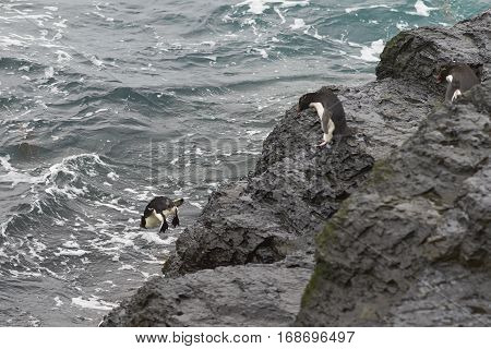Rockhopper Penguins (Eudyptes chrysocome) diving off the cliffs into the sea on the coast of Bleaker Island in the Falkland Islands
