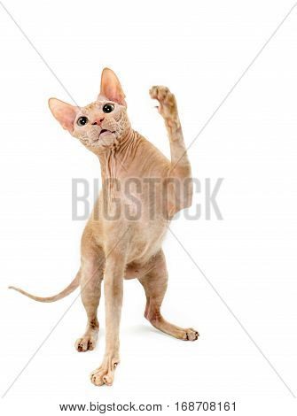 cat Sphynx Canadian close up isolated on white background