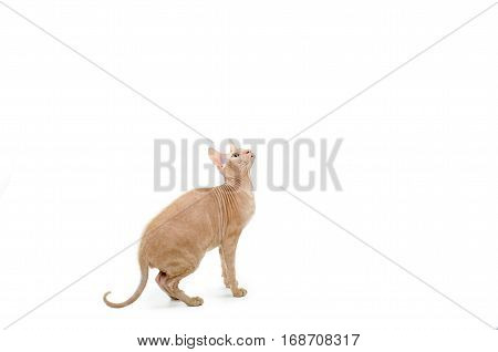 cat, Sphynx, Canadian, close up isolated on white background