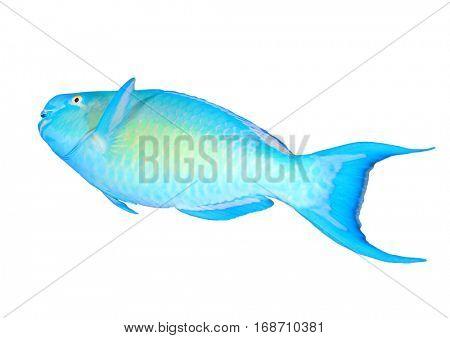 Fish isolated. Parrotfish on white background.