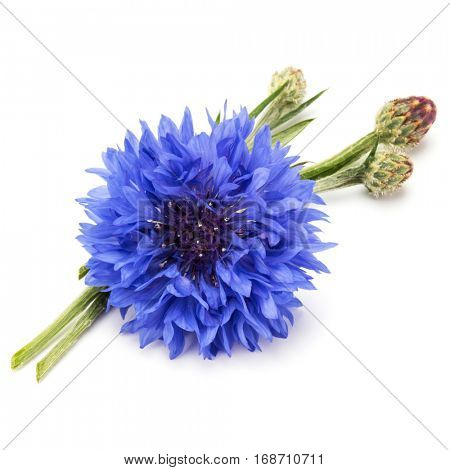 Blue Cornflower Herb or bachelor button flower head isolated on white background cutout.