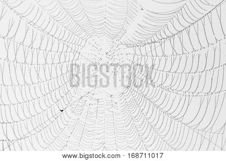 Spiderweb with water droplets and grey background