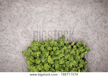 Sweet rucola salad or rocket lettuce leaves in pot on rustic background. Healthy eating concept. Top view