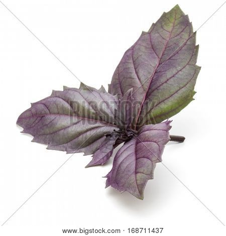Close up studio shot of fresh red basil herb leaves isolated on white background. Purple Dark Opal Basil