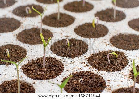 Closeup Seedlings Potted In Peat Tray. Young Seedlings In Springtime.