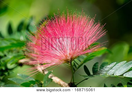 pink powderpuff flower or calliandra surinamensis and foliage in full bloom