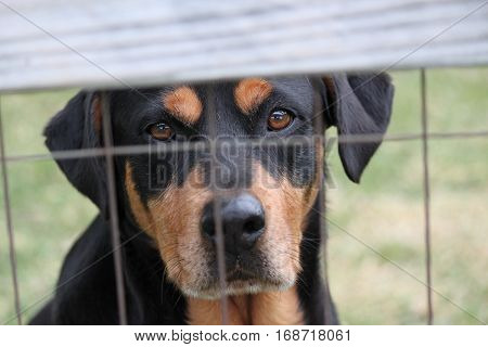 Jade the Rottweiler looking wistfully at her owner