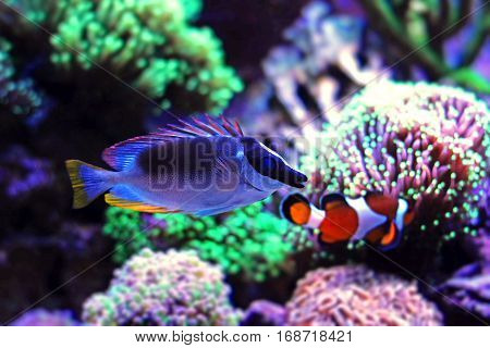Magnificent Foxface in coral reef aquarium tank (Siganus magnificus) poster