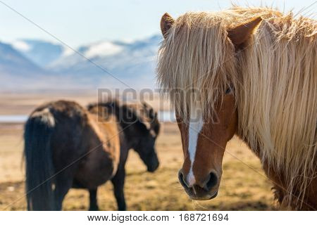 Icelandic horses on wide open space with snow-covered mountains in background. Head of brown horse looking towards camera with eye contact one eye hidden behind long hair. Skagarfjordur North Iceland.