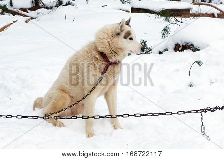 Husky red sled tied on chain harness. Siberian dogs Huskies driven sleigh people in the North. Animals active dog sports at work in the winter.