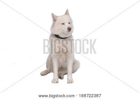 Husky white isolated white background. Siberian dogs driven sleigh people in the North. Animals active dog sports at work in the winter.