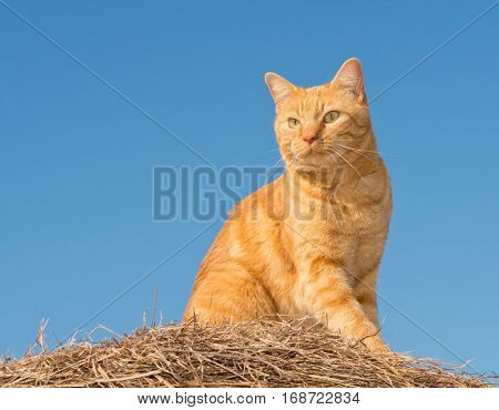 Handsome ginger tabby cat on top of a hay bale, against clear blue skies