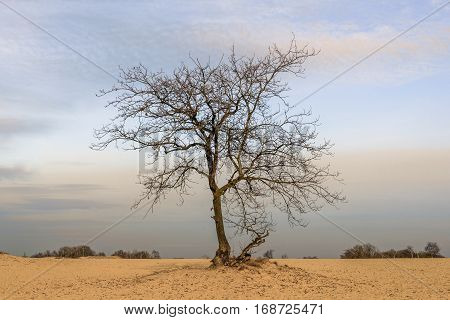 Solitary tree with bare branches on a wide expanse of sand in a Dutch nature reserve at the end of a sunny day in the winter season.