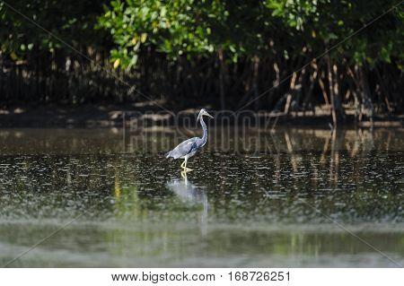 Tricolored Heron wading in tide pool at Fort De Soto