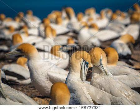 Courting Gannets In Colony New Zealand