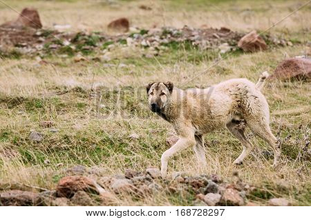 Central Asian Shepherd Dog Tending Sheep In The Mountains Of Georgia. Alabai - -An Ancient Breed From The Regions Of Central Asia. Used As Shepherds, As Well As To Protect And For Guard Duty. poster