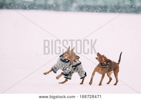 Two Funny Dogs - Brown Miniature Pinscher Pincher Min Pin Playing And Running Together Outdoor In Snow, Winter Season. Playful Pets Outdoors.