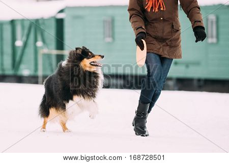 Funny Young Shetland Sheepdog, Sheltie, Collie Dog Playing With Plate And Running Outdoor In Snow At Feet Of Woman, Winter Season. Playful Pet Outdoors.