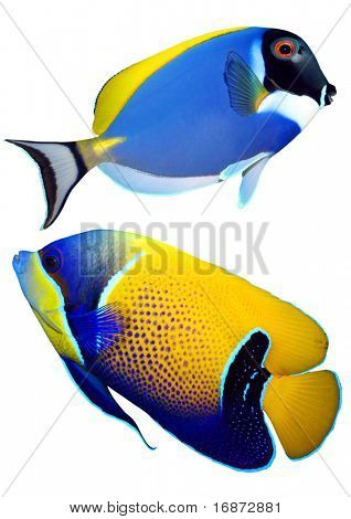 Tropical reef fish - Surgeonfish - (Zebrasoma) and Majestic Angelfish (Pomacanthus navarchus) - isolated on white background