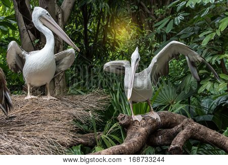 White Pelican in water-land