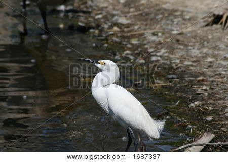 Snowy Egret At Water'S Edge 2