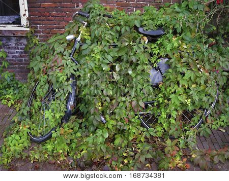 Old bicycle covered and hidden by a plant