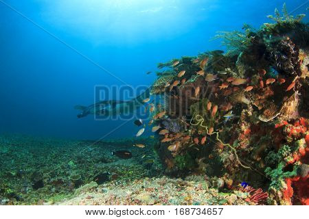 Manta Ray approaches coral reef cleaning station in Komodo National Park, Indonesia
