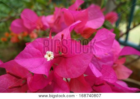 Bougainvillea Flower, Close Up