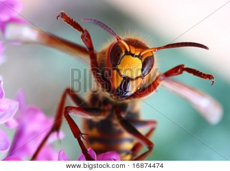 Close-up of a cheering European Hornet (Vespa crabro) - funny image. Macro shot with shallow dof.