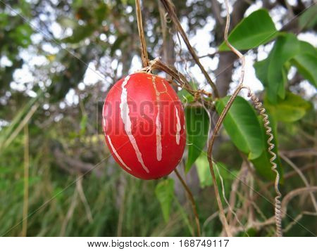Native bush tomato Australia wild fruit tucker