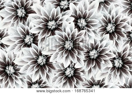 flowers dahlias black-white. flowers background. floral collage. flower composition. Nature.