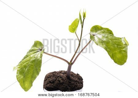 Green moonflower(Ipomoea alba) sprout growing on plastic pot over white