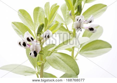 Striped two tone color broad bean flowers in front of white background