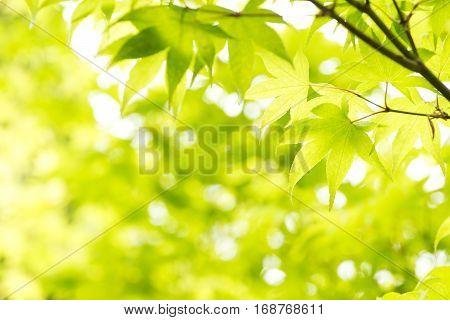 Green maple leaves(Acer palmatum var. amoenum) in front of green blurs