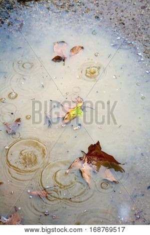 Rain Drips create ripples and circles in puddles during a storm. puddles with leaves and rain drips add texture, color and interest to outdoor photography.