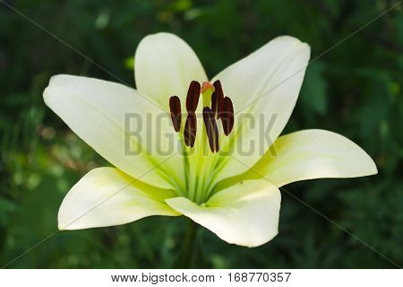 Beautiful lily flower growing in the garden
