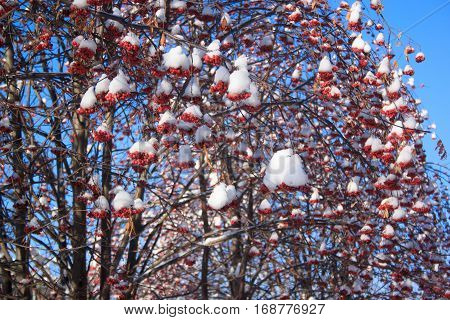 Beautiful branches mountain ash covered with snow over blue sky background.