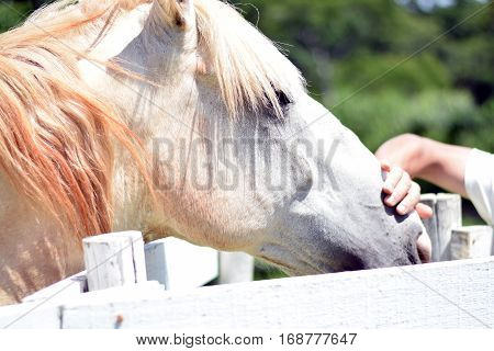 Man's Hand Petting White Horse