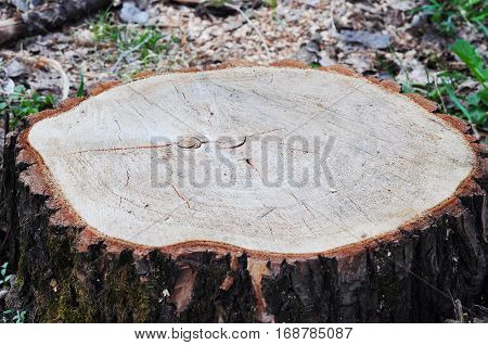 Trees being cut down in a dense forest. Deforestation concept and when a tree falls in a forest that is being cut down for development as an icon for environmental damage .