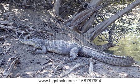 Salt water crocodile in the wild, Kimberley Coast, Western Australia.