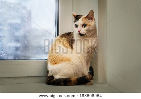Tricolor young cat sitting on a window sill