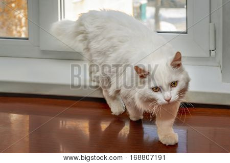 White cat goes to meet us from the window