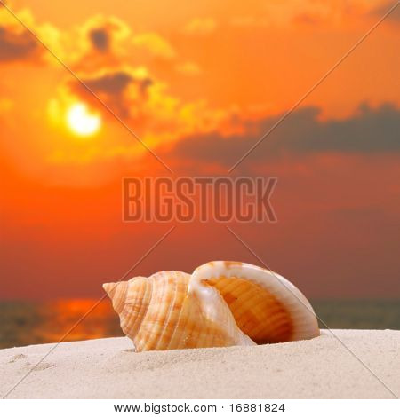 A conch shell on an tropical beach.