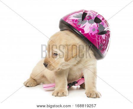 Labrador Retriever Puppy With A Helmet