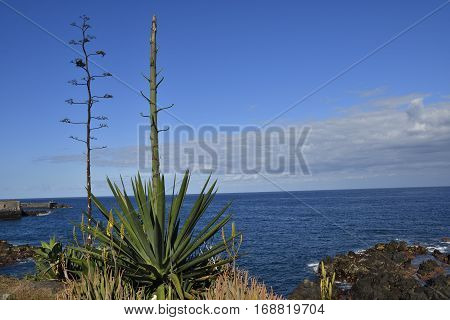 Agave inflorescence (Agave americana) with blue heaven and sea in background picture from Puerto de la cruz.