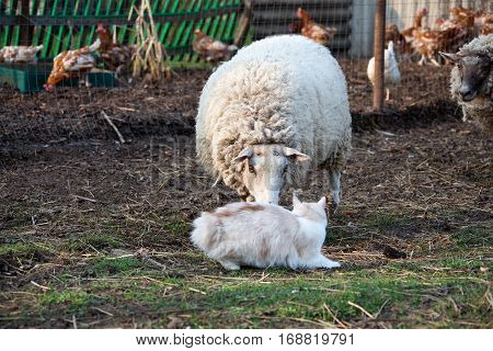 Dirty Sheep In The Paddock
