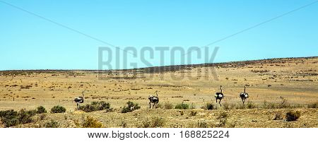 Landscape with ostrich breeding at Darling South Africa