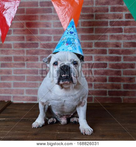 Portrait of French bulldog angry on his birthday
