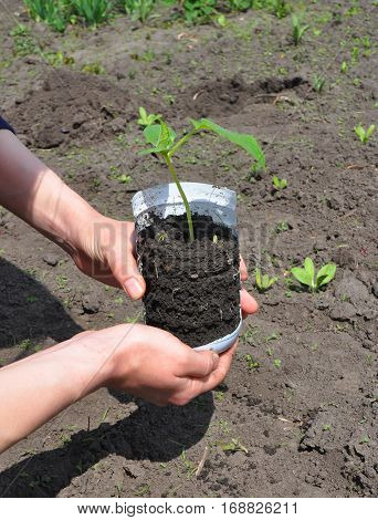 Gardening utensils with seedlings of cucumber for plant out. Cucumber plant. Tutorial step by step.