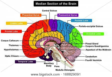 Human Brain Diagram Images, Illustrations & Vectors (Free) - Bigstock